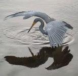 Heron tricol 01